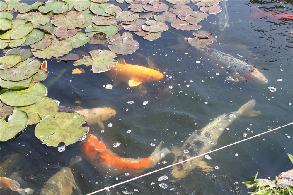 Drinkstone park bed breakfast and gardens guest b b for Koi fish pond sydney