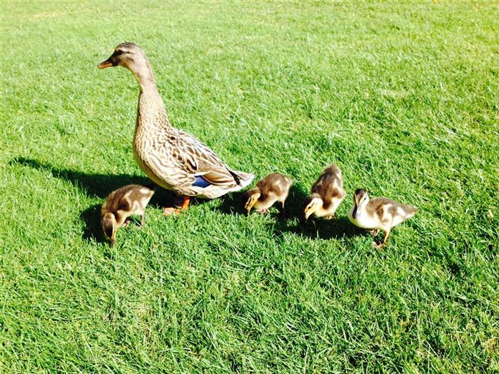Our resident ducks!