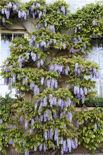 Wisteria on the East Range